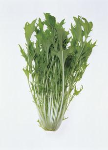 水菜の写真素材 [FYI03941385]