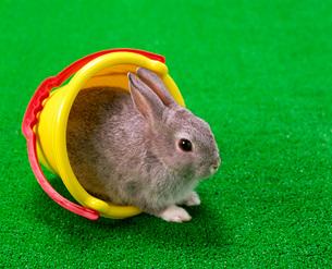 ウサギの写真素材 [FYI03942235]