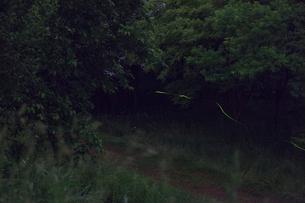 小道を行くゲンジボタルの写真素材 [FYI03943165]