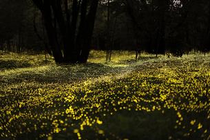 ヒメボタルの群生 黄色い絨毯の写真素材 [FYI03943170]