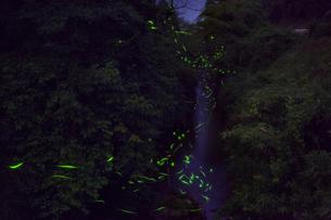 渓谷に集うゲンジボタルの写真素材 [FYI03943171]