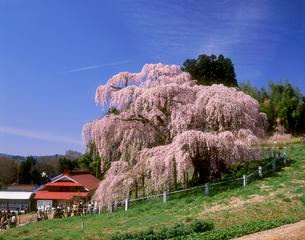 三春の滝桜の写真素材 [FYI03943245]