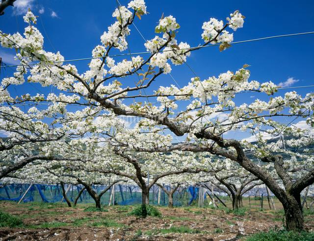 花咲く梨園の写真素材 [FYI03943253]