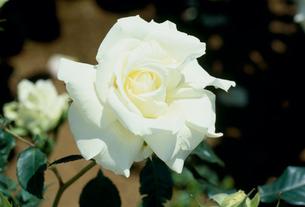 ホワイトマスターピース(バラ)の写真素材 [FYI03943256]