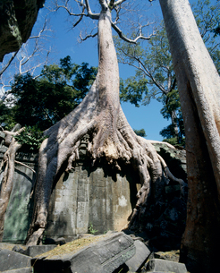 タ・プロムの遺跡と巨木の写真素材 [FYI03943388]