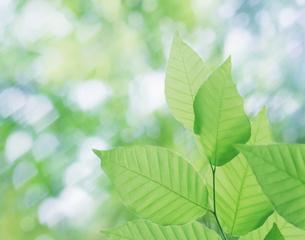 ブナの葉の写真素材 [FYI03943651]