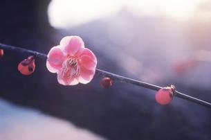 紅梅の写真素材 [FYI03943676]