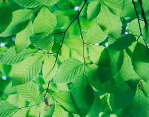 ぶなの葉とカエル CGの写真素材 [FYI03943692]