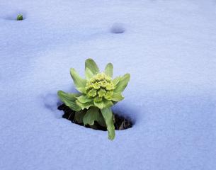 春雪とフキノトウの写真素材 [FYI03943734]