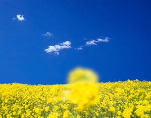 菜の花の写真素材 [FYI03943740]