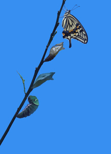 アゲハチョウの変態の写真素材 [FYI03943744]