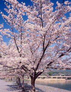中之島公園の桜の写真素材 [FYI03944481]