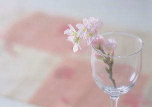 グラスに入った彼岸桜の枝花の写真素材 [FYI03945202]