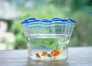 金魚と金魚鉢の写真素材 [FYI03945347]