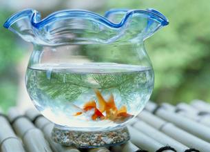 金魚と金魚鉢の写真素材 [FYI03945351]