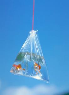 青い空と袋の中の金魚の写真素材 [FYI03945363]