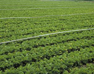 セロリ畑の写真素材 [FYI03945502]