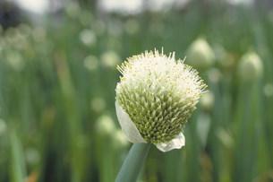 ねぎの花の写真素材 [FYI03945572]