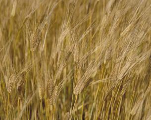 大麦の写真素材 [FYI03945612]