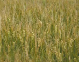 大麦の写真素材 [FYI03945613]
