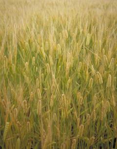 大麦の写真素材 [FYI03945618]