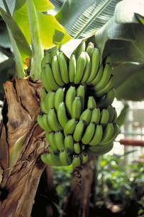 三尺バナナの写真素材 [FYI03945782]