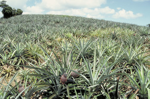 パイナップル畑の写真素材 [FYI03945787]
