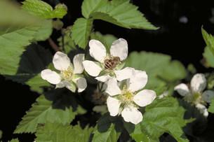 ブラックベリーの花の写真素材 [FYI03945844]