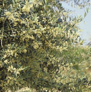 オリーブの花の写真素材 [FYI03945846]