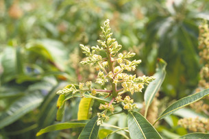 マンゴーの花の写真素材 [FYI03945870]
