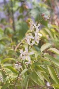 グレープフルーツの花の写真素材 [FYI03945873]
