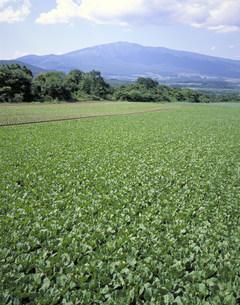 白菜畑の写真素材 [FYI03946348]