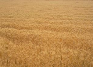 麦畑(大麦、ビール麦)の写真素材 [FYI03946393]