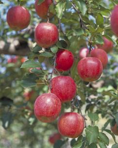 りんごの写真素材 [FYI03946448]