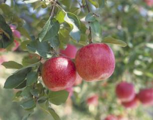 りんごの写真素材 [FYI03946449]