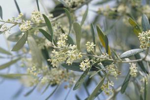 オリーブの花の写真素材 [FYI03946523]