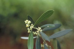 オリーブの花の写真素材 [FYI03946568]