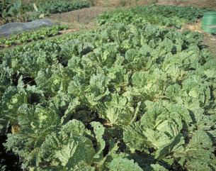 自然農法(白菜)の写真素材 [FYI03947003]