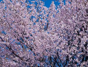 エゾ山桜の写真素材 [FYI03947617]