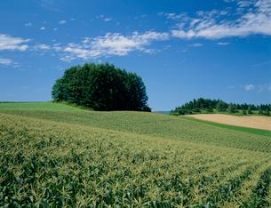 トウモロコシ畑の写真素材 [FYI03947645]