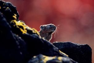 岩の脇から顔を出すナキウサギの写真素材 [FYI03947651]
