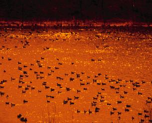 渡り鳥と夕景の川面の写真素材 [FYI03947667]