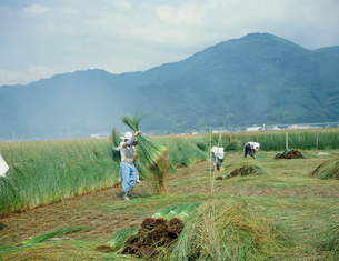 イグサの収穫の写真素材 [FYI03947745]