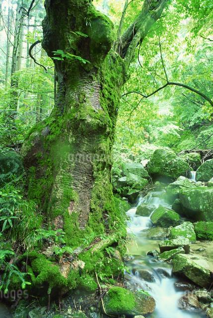 滝とトチの木の写真素材 [FYI03948483]