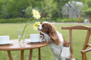 テーブルの花を嗅ぐ犬の写真素材 [FYI03948928]