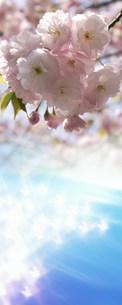 八重桜の写真素材 [FYI03949143]