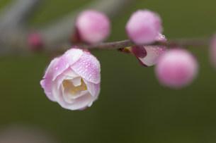 梅の写真素材 [FYI03949384]
