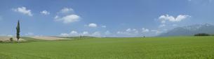 麦畑とポプラの写真素材 [FYI03949583]
