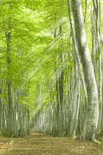 ブナの林の写真素材 [FYI03949611]