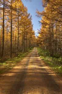 黄葉の落松と木漏れ日の道の写真素材 [FYI03950196]